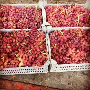 Takestan Seedless red grapes
