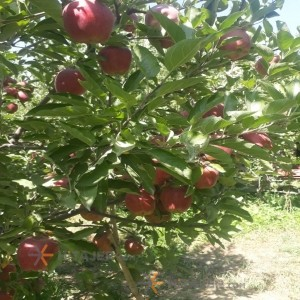 Qazvin red apple