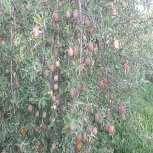 Tuyserkan red apple