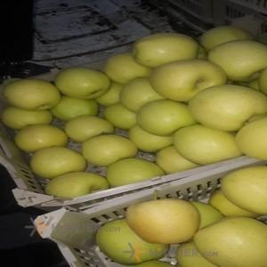 Urmia yellow apple