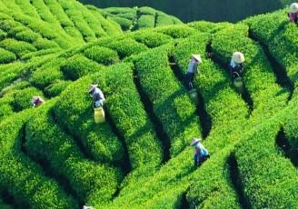تجار به دنبال صادرات ارزان چای ایرانی