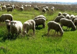 صادرات گوسفند زنده آزاد شد
