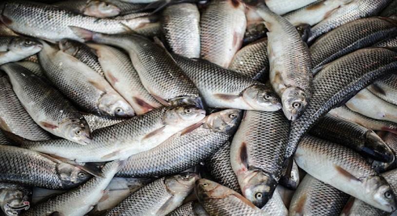 کرونا دلیل اصلی کاهش میزان تولید و صادرات ماهیان گرمابی در گیلان