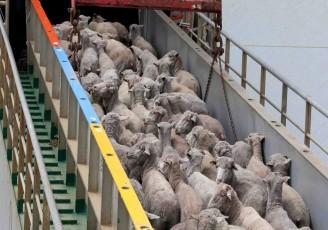 صادرات دام زنده گرانی به دنبال دارد