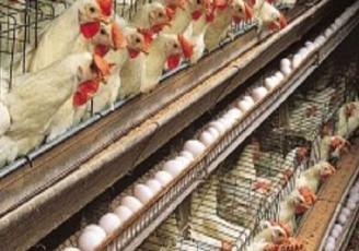 گرانی دوباره مرغ و تخم مرغ
