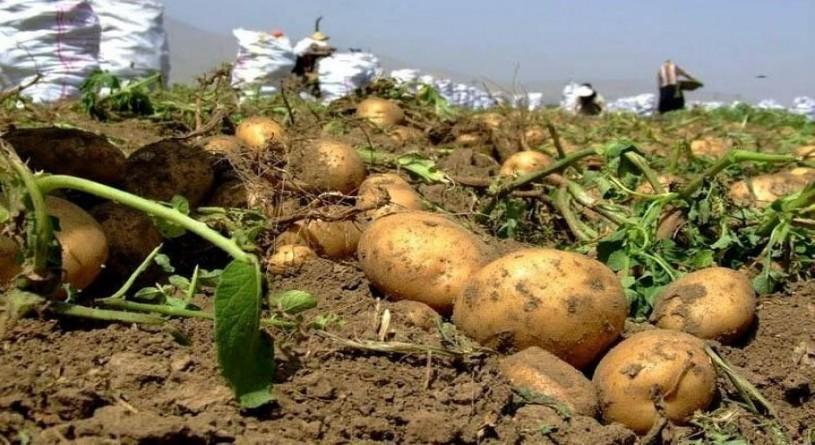نیکزاد: خرید تضمینی سیب زمینی با قیمت مناسب به زودی انجام میشود
